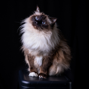 Birman cat in the studio